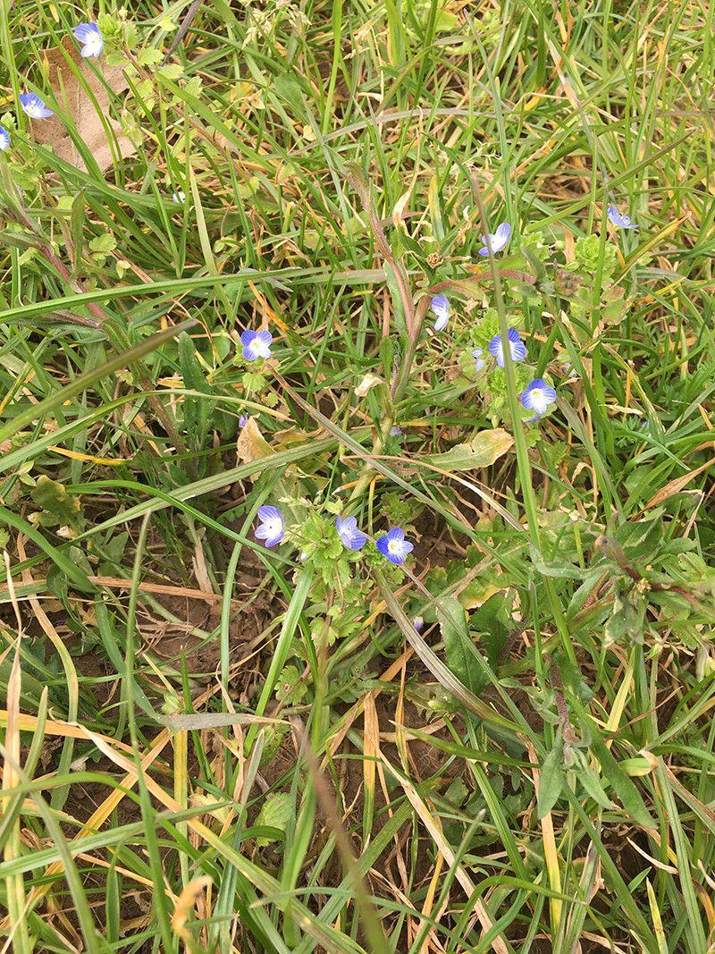 Plus aucun produit Phytosanitaire n'est utilisé à Voisins et comme par hasard, on retrouve de la bio-diversité naturelle dans nos pelouses. :-)